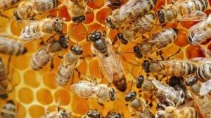 honeybee 800x450 1