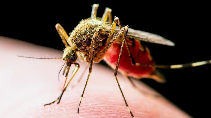 mosquito 800x450 1